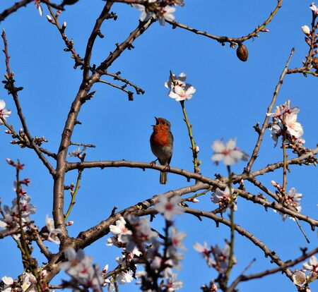 insectivorous plants: Robin bird singing on almond tree in full bloom, Gran canaria island Stock Photo