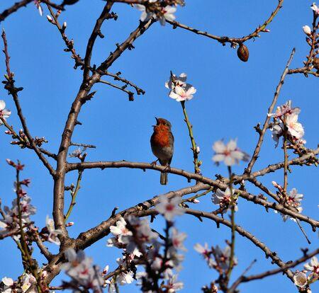 robin bird: Robin bird singing on almond tree in full bloom, Gran canaria island Stock Photo