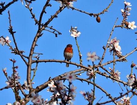 robin bird: Robin bird of Gran canaria on almond tree in bloom, Canary islands