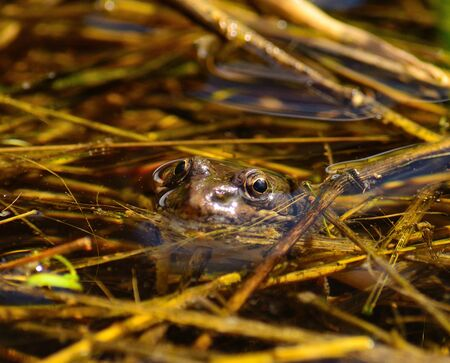 anura: Frog peeking its head over the surface in water puddle