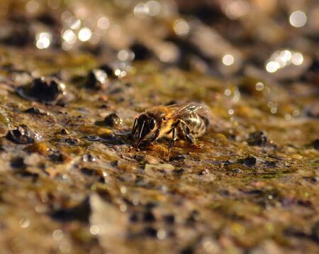 sipping: Bee sipping natural water on the soil Stock Photo