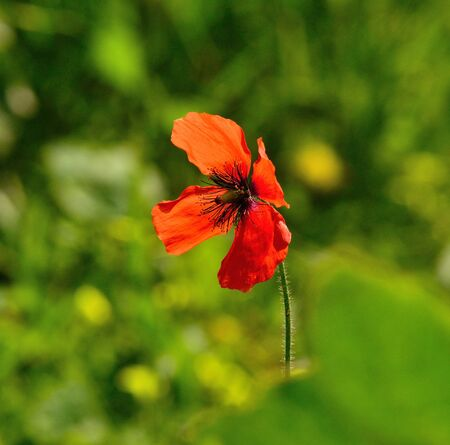peculiar: Peculiar red poppy isolated Stock Photo