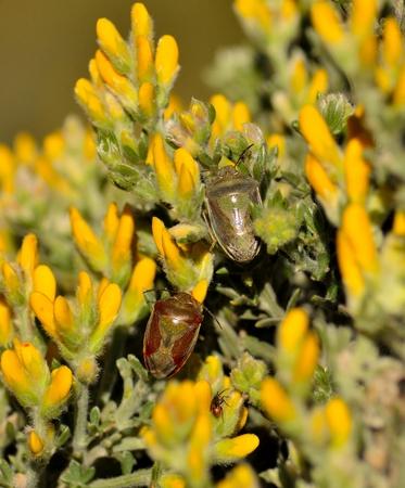pentatomidae: Couple of nezara viridula among wild flowers teline canariensis