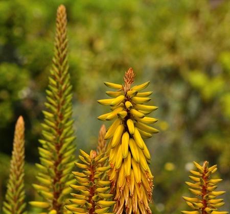 flowering aloe: Clusters of aloe flowers Stock Photo