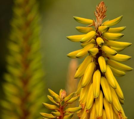 Flores de Aloe Vera Foto de archivo