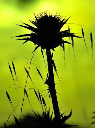 tonality: Milk thistle and oats backlit on green background