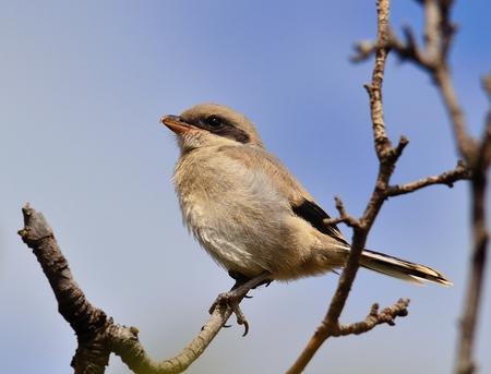 wild canary: Gray shrike on tree branch