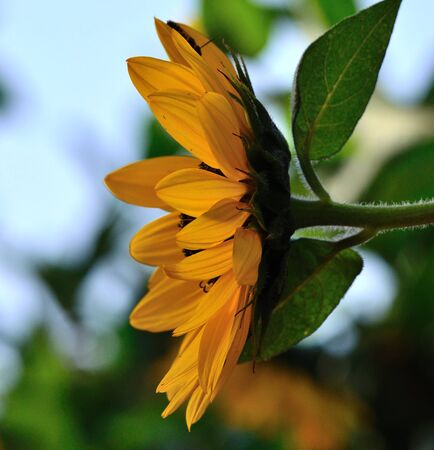 flowerhead: Profile of sunflower in full bloom