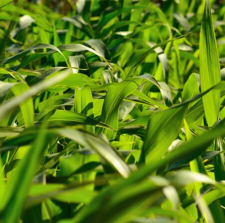 gramineous: Green leaves in cornfield Stock Photo