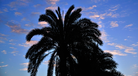 intense: Phoenix canariensis on intense cloudy sky at dawn