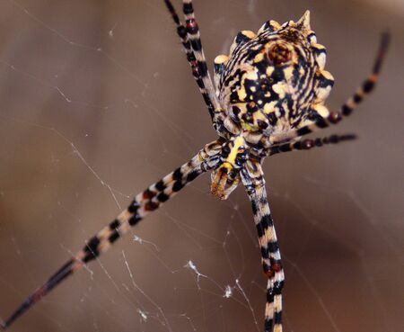 argiope: Great argiope spider hanging behind its cobweb