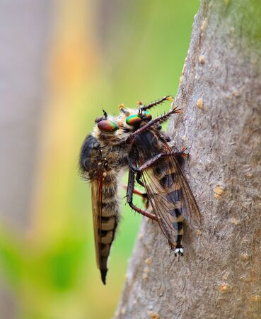 asilidae: Robber fly trapping other robber fly