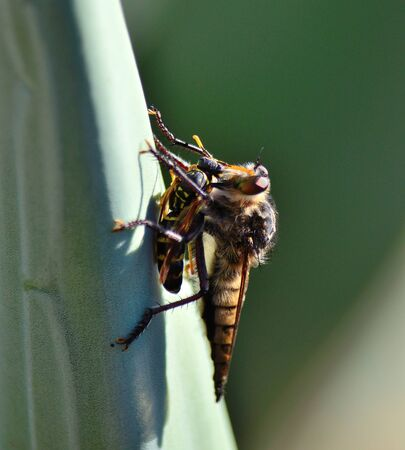 asilidae: Robber fly trapping a small wasp Stock Photo