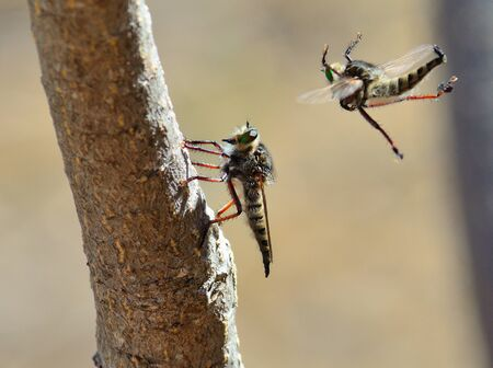 asilidae: Courtship ritual of robber fly