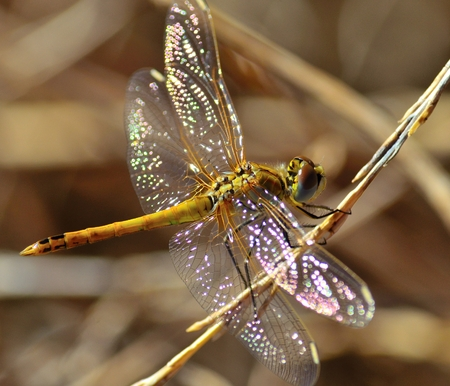 libellulidae: Sympetrum dragonfly