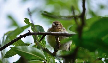 young bird: Young bird  amidst branches, serinus