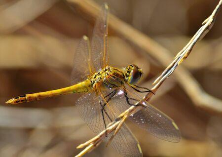 sympetrum: Sympetrum dragonfly