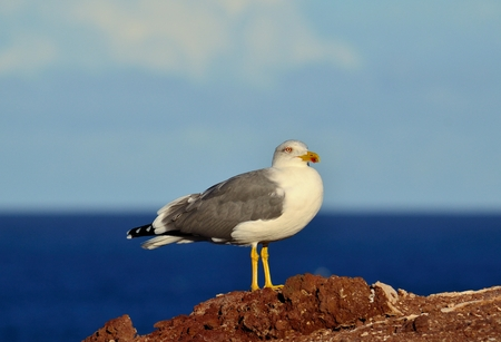 charadriiformes: Herring gull on a rock next to the coast
