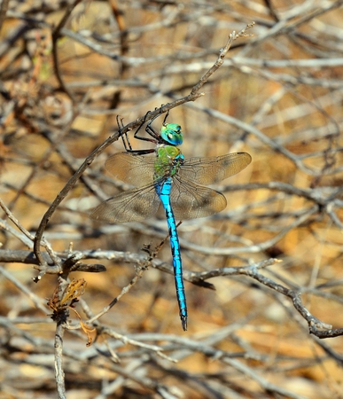 Blue dragonfly Anax imperator Stock Photo