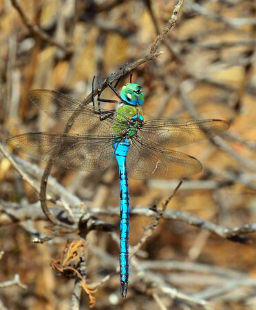 libellulidae: Blue dragonfly Anax imperator Stock Photo