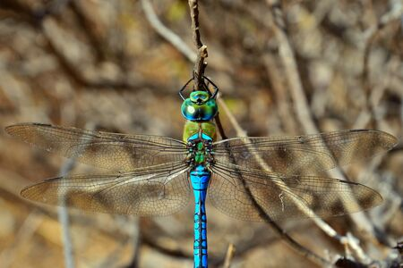 imperator: Blue dragonfly Anax imperator Stock Photo