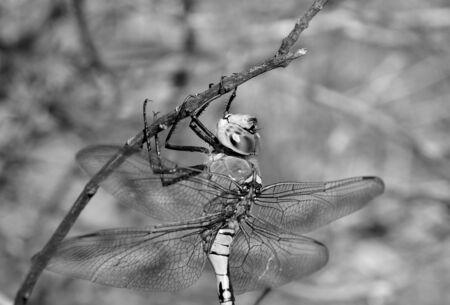 Anax imperator black and white Stock Photo