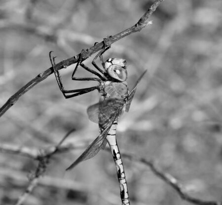 libellulidae: Anax imperator black and white Stock Photo