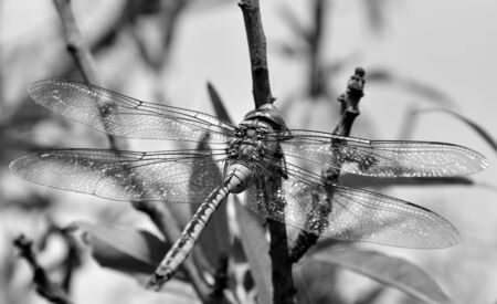 imperator: Anax imperator black and white Stock Photo