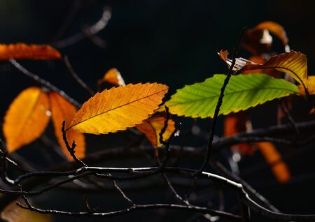 magnoliopsida: Colorful leaves of chestnut tree in autumn