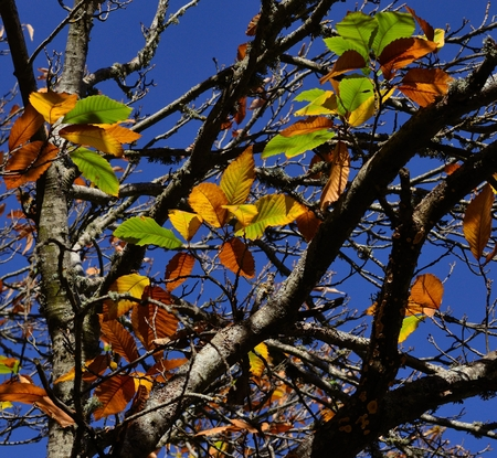 fagaceae: Colorful leaves of chestnut tree in autumn