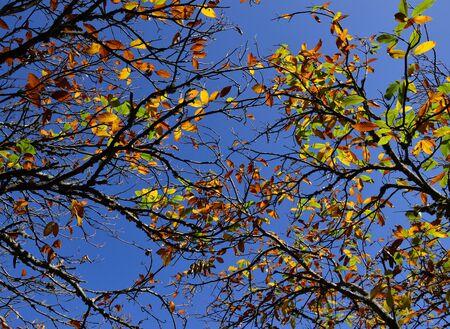 fagaceae: Autumnal chestnut tree