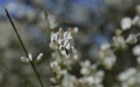 fabales: Wildflowers isolated of Retama monosperma Stock Photo