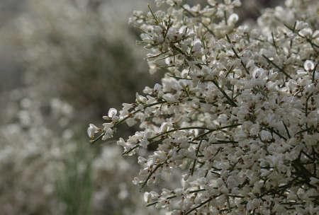 fabales: Wildflowers of Retama monosperma