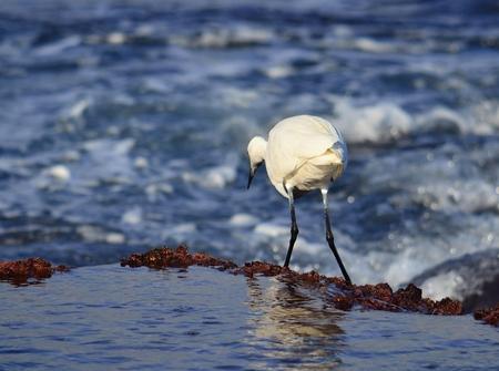 botas altas: Garza blanca en la orilla del mar Foto de archivo