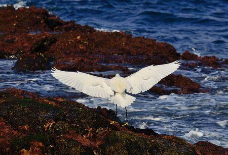 botas altas: Garza blanca con las alas de aterrizaje completamente extendida en la orilla