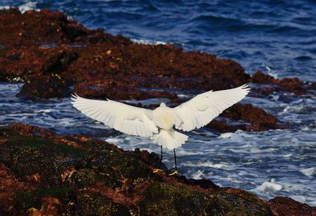 seabirds: White heron with wings fully extended landing on the shore Stock Photo