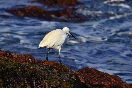 waders: Garza blanca en la orilla del mar Foto de archivo