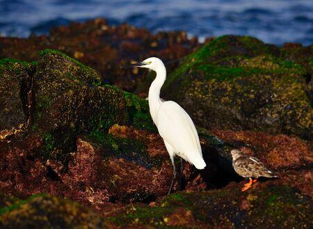 botas altas: garza blanca peque�a y vuelvepiedras en la orilla