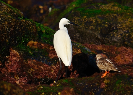 seabirds: White heron and small turnstone on the shore Stock Photo