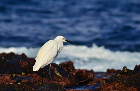 ardeidae: White heron on the seashore