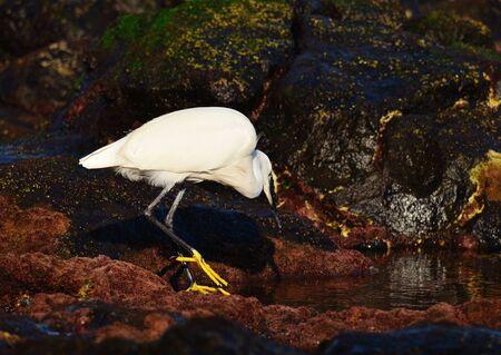 waders: pesca garza blanca en un charco en la orilla del mar Foto de archivo