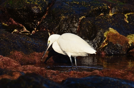 seabirds: White heron fishing in a puddle on the seashore Stock Photo
