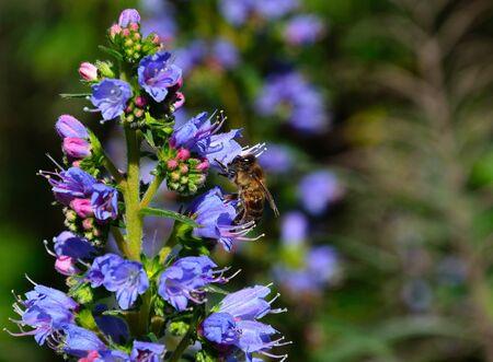 echium: Bee on echium flowers, Canary islands Stock Photo