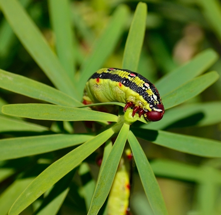 hyles: Worm Hyles euphorbiae eating green leaves of euphorbia