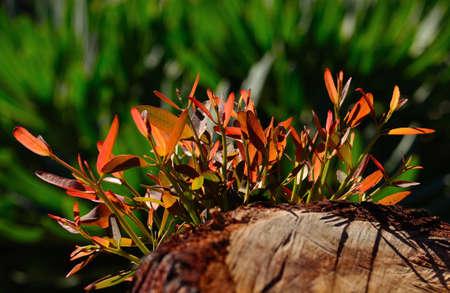 myrtales: Green twigs of eucalyptus tree