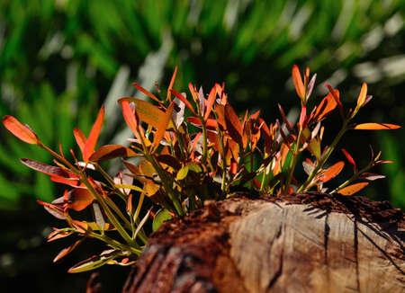eucalyptus tree: Green twigs of eucalyptus tree
