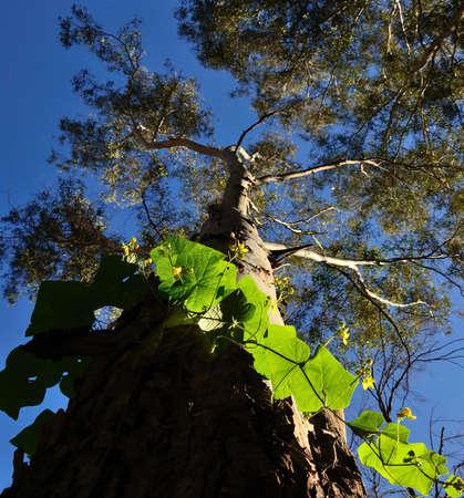 myrtales: Climbing plant around of eucalyptus