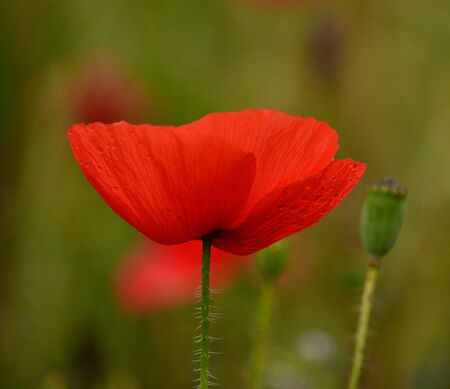 flowerhead: Beautiful red poppy isolated of intense color