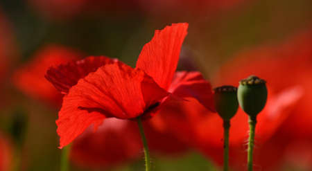 radiant: Radiant red poppy isolated of vivid color