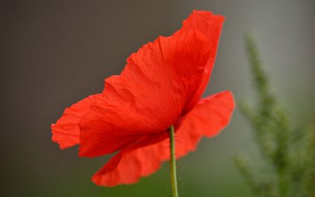 intense: Beautiful red poppy isolated of intense color